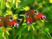 Flores e borboletas já não aparecem ao mesmo tempo