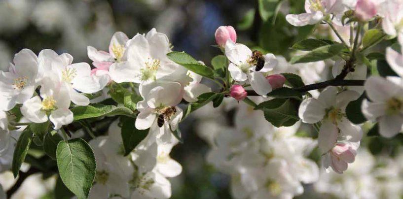 Embrapa Uva e Vinho aborda polinização de macieiras no Rio Grande do Sul