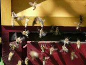 Açúcar gera estado semelhante àemoção positiva em abelhas
