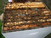 Criação racional e uso integrado de abelhas promove interação entre agricultores