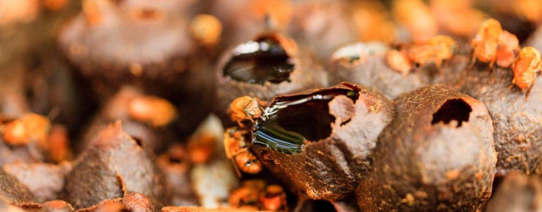Peabiru lança campanha para autorização de manejo simplificado da meliponicultura
