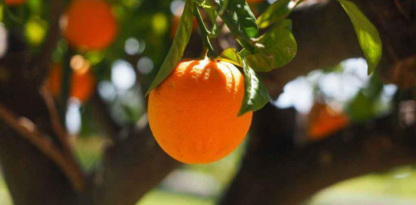 Abelhas aumentam a produtividade de laranjais