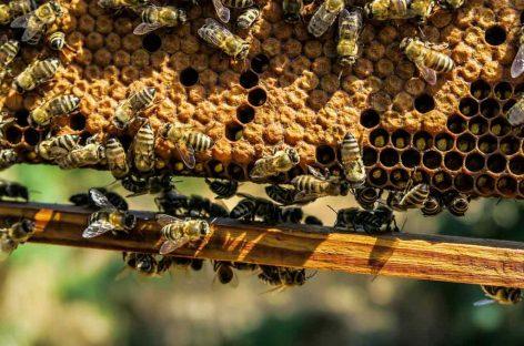 Abelhas rainhas selecionadas são entregues a apicultores em SC