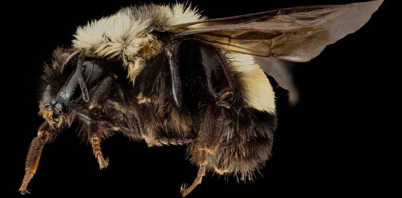 EUA incluem abelha em lista de espécies ameaçadas