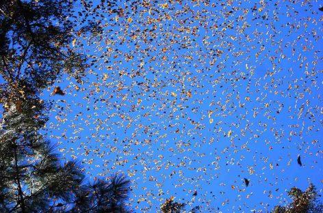 Assim como as aves, insetos migram sazonalmente