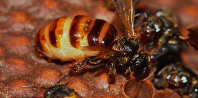 Nascimento de crias indesejáveis causa a morte de rainhas de abelhas sem ferrão