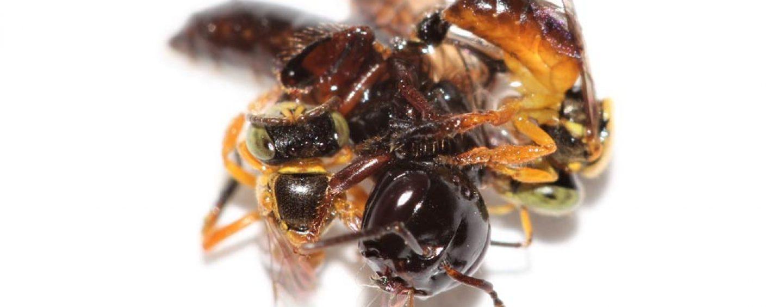 Cientistas descobrem que abelhas sem ferrão usam guardas especializadas para defender as colmeias
