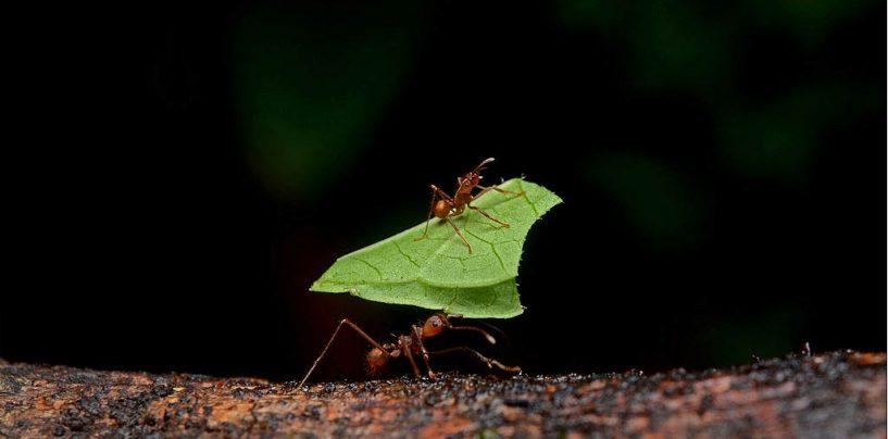 Formigas podem ter inventado agricultura para combater a seca
