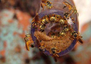 abelha-jatai
