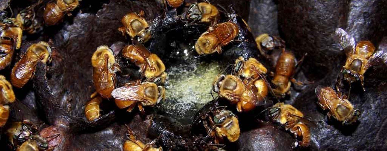 Novas regras facilitarão a criação de abelhas sem ferrão