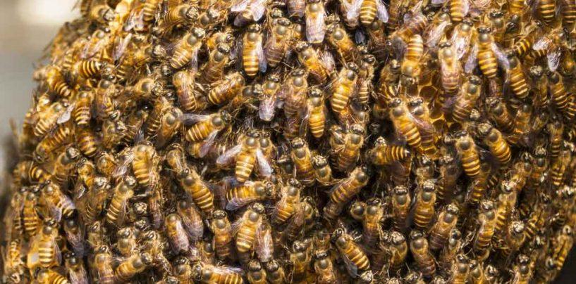 Substâncias relacionadas à ferocidade em abelhas são descobertas