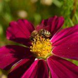 Ciência cidadã – Minnesota Bee Atlas