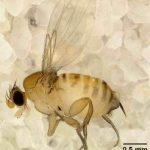 Apocephalus borealis
