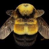 Ciência Cidadã – The Bumblebee Survey