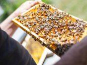 Conheça a técnica que pode gerar mais competitividade para o setor apícola brasileiro