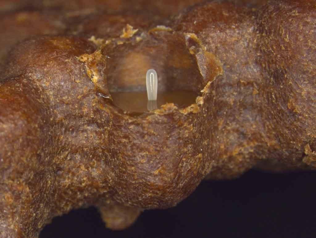 Produção de colônias de abelhas