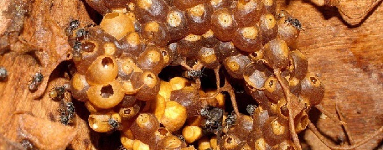 Rainhas de abelhas sem ferrão controlam reprodução de operárias sem castração