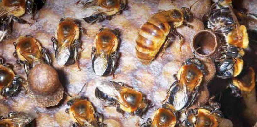 E-book – A abelha jandaíra no passado, no presente e no futuro