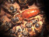 Saiba a importância das abelhas rainhas nas colmeias