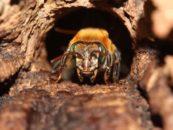 Padronização de método de criação <i>in vitro</i> de abelhas sem ferrão