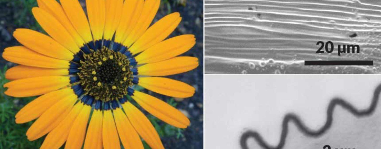 Flores projetam halos de luz azul para atrair abelhas