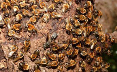Genômica da paisagem da abelha jandaíra