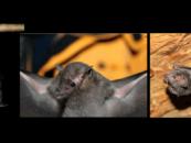 Estudo aborda os efeitos das mudanças climáticas sobre morcegos na Amazônia Oriental