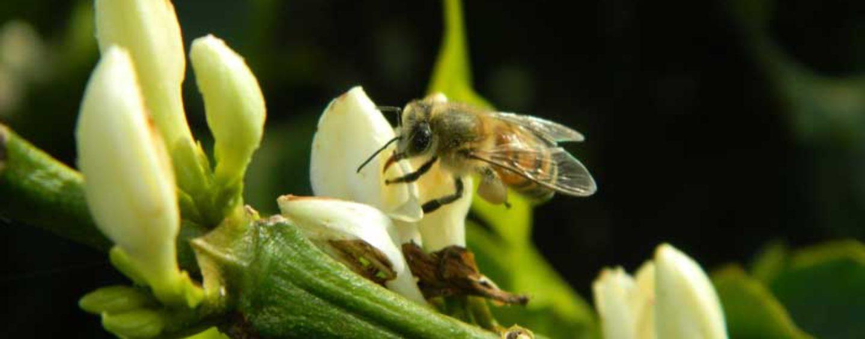 Mais abelhas podem aumentar a rentabilidade na cultura do café em até 30%