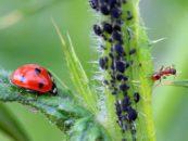 App da Embrapa identifica insetos inimigos de pragas agrícolas