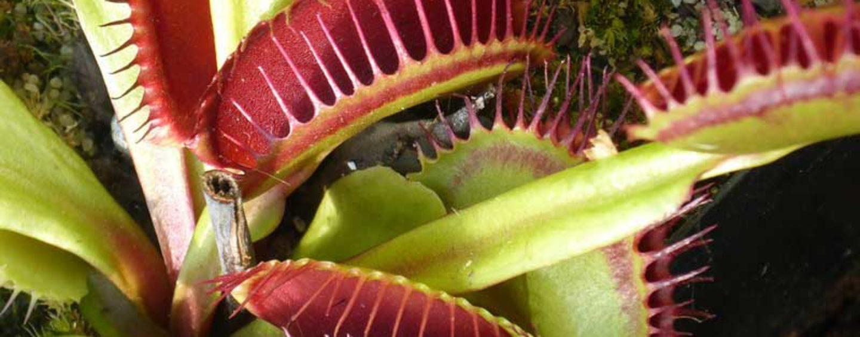 Planta carnívora poupa polinizadores de virarem refeição