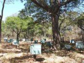 Sombreamento natural desenvolve abelhas mais rápido e melhora qualidade do mel