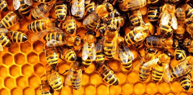 """Pesquisadores desenvolvem """"vacina"""" para abelhas"""